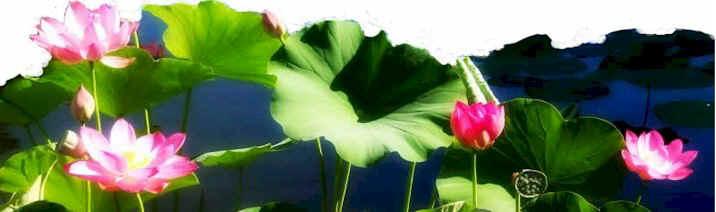 lotuses2.jpg